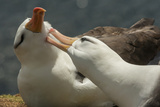Falkland Islands  Saunders Island Black-Browed Albatross Courtship