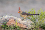 USA  Arizona  Amado Female Cardinal Perched on Rock