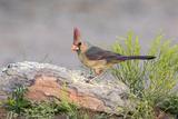 USA  Arizona  Amado Female Cardinal Perched on Rock