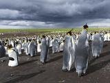 King Penguin Colony on the Falkland Islands  South Atlantic