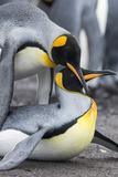 King Penguin  Falkland Islands  South Atlantic Mating