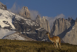 Guanaco with Cordiera del Paine in Back  Patagonia  Magellanic  Chile