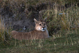 Puma Waiting  Torres del Paine NP  Patagonia  Magellanic Region  Chile