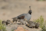 USA  Arizona  Amado Male Gambel's Quail and Chicks on a Rock