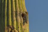 Arizona  Sonoran Desert Gila Woodpecker at Nest Hole in Saguaro