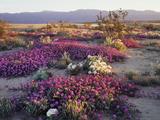California  Anza Borrego Desert State Park  Desert Wildflowers