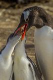 Falkland Islands  Sea Lion Island Gentoo Penguin Feeding Chicks