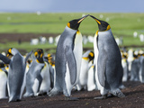King Penguin  Falkland Islands  South Atlantic