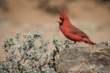 USA  Arizona  Amado Male Northern Cardinal on Rock