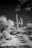 USA  Arizona  Tucson  Saguaro National Park