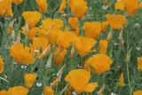 California  Santa Barbara Botanical Garden  California Poppy