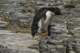 Falkland Islands  Bleaker Island Rockhopper Penguin