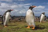 Falkland Islands  Bleaker Island Gentoo Penguin Colony