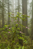 USA  California  Redwoods NP Fog and Rhododendrons in Forest