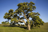 USA  California  Cottonwood Tree and Moon
