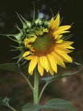USA  California  a Partially Open Sunflower