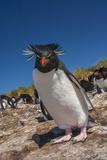 Falkland Islands  Bleaker Island Rockhopper Penguin Close-up
