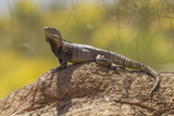 USA  Arizona  Sonoran Desert Spiny-Tailed Iguana on Rock