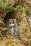 USA  Colorado  Larimer County Great Horned Owl on Rocky Ledge