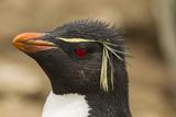 Falkland Islands  Saunders Island Rockhopper Penguin Portrait