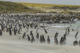 Falkland Islands  Bleaker Island Magellanic and Gentoo Penguins
