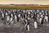 Falkland Islands  Sea Lion Island Gentoo Penguins Colony
