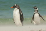 Falkland Islands  Bleaker Island Gentoo Penguins on the Beach