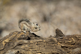USA  Arizona  Buckeye Harris's Antelope Squirrel on Log