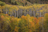 USA  Colorado  White River NF Aspen Grove at Peak Autumn Color