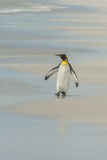 Falkland Islands  East Falkland King Penguin Walking on Beach