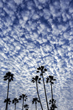 Palm Trees Silhouetted Against Puffy Clouds in San Diego  California