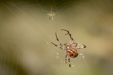 Common Orbweaver on Web with Prey (Midge)  Los Angeles  California