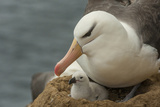 Falkland Islands  Saunders Island Black-Browed Albatross with Chick