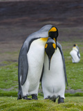 King Penguin  Falkland Islands  South Atlantic Courtship Display