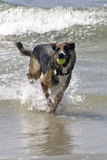 California  Del Mar Dog Fetching Tennis Ball at Dog Beach del Mar