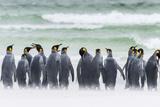 Falkland Islands  South Atlantic Group of King Penguins on Beach