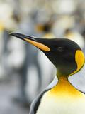 King Penguin  Falkland Islands  South Atlantic Portrait