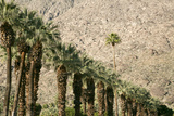 Scenic of Palm Trees  Palm Springs  California  USA