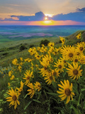 Washington State  Palouse Hills Landscape with Douglas' Sunflowers