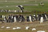 Falkland Island Kelp Gull Flies over Gentoo Penguin Colony