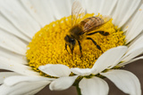 USA  Colorado  Jefferson County Honey Bee on Daisy Blossom