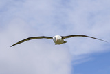 Black-Browed Albatross or Mollymawk  Flight Shot Falkland Islands