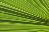 California  Palm Springs  Indian Canyons California Fan Palm Frond