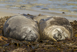 Falkland Islands  Carcass Island Southern Elephant Seals  Sleeping