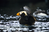 A Tufted Puffin Shaking Water Off His Wings after Landing