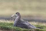 Southern Giant Petrel (Macronectes Giganteus)  on the Falkland Islands