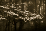 USA  Virginia  Shenandoah NP Dogwood Blossoms in the Mist