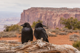 USA  Utah  Canyonlands National Park Pair of Ravens on Log