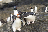 Rockhopper Penguin  Subspecies Southern Rockhopper Penguin