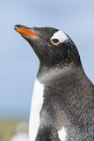 Gentoo Penguin (Pygoscelis Papua) on the Falkland Islands